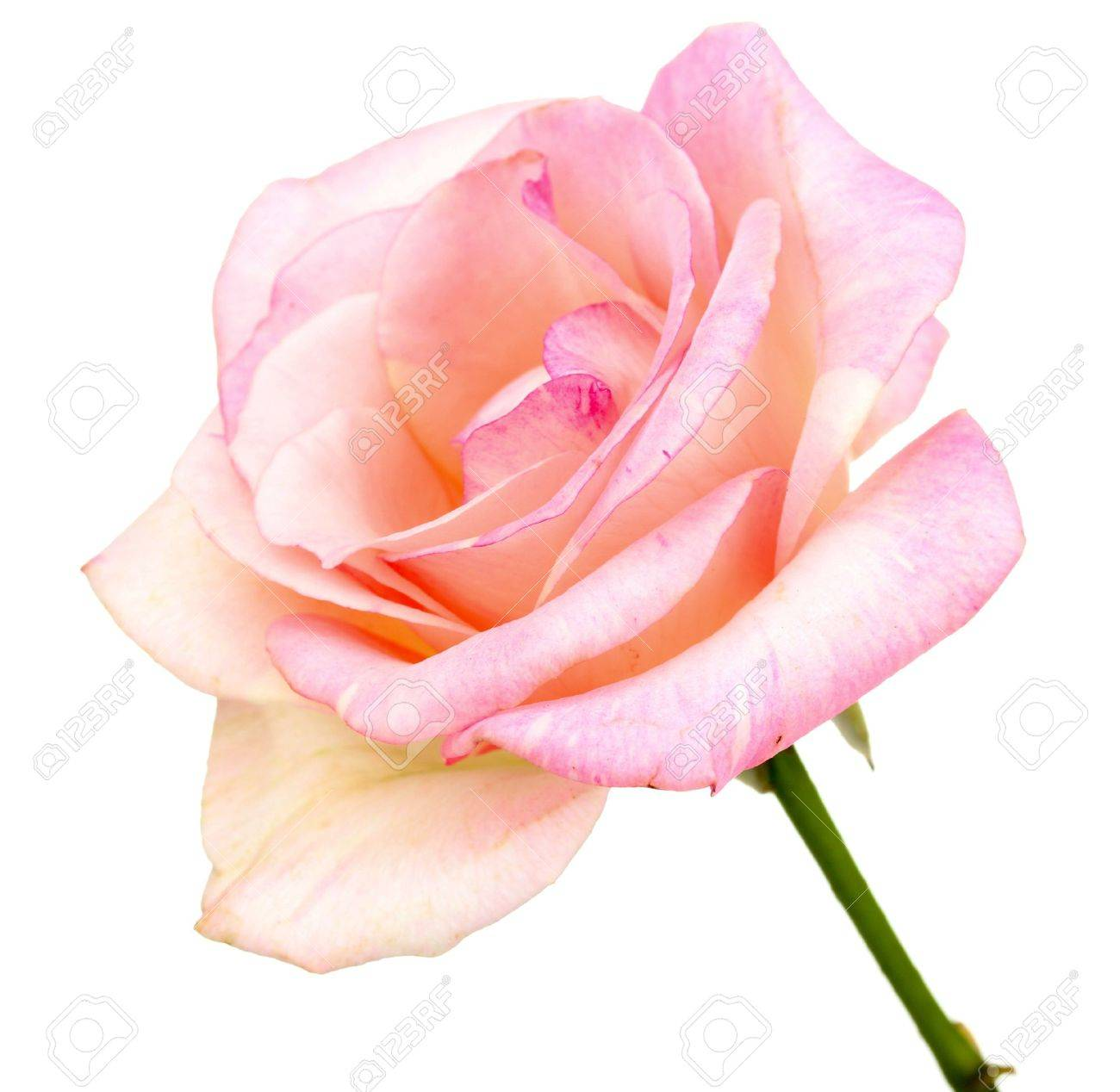 Beautiful pink rose isolated on white Stock Photo - 10751837