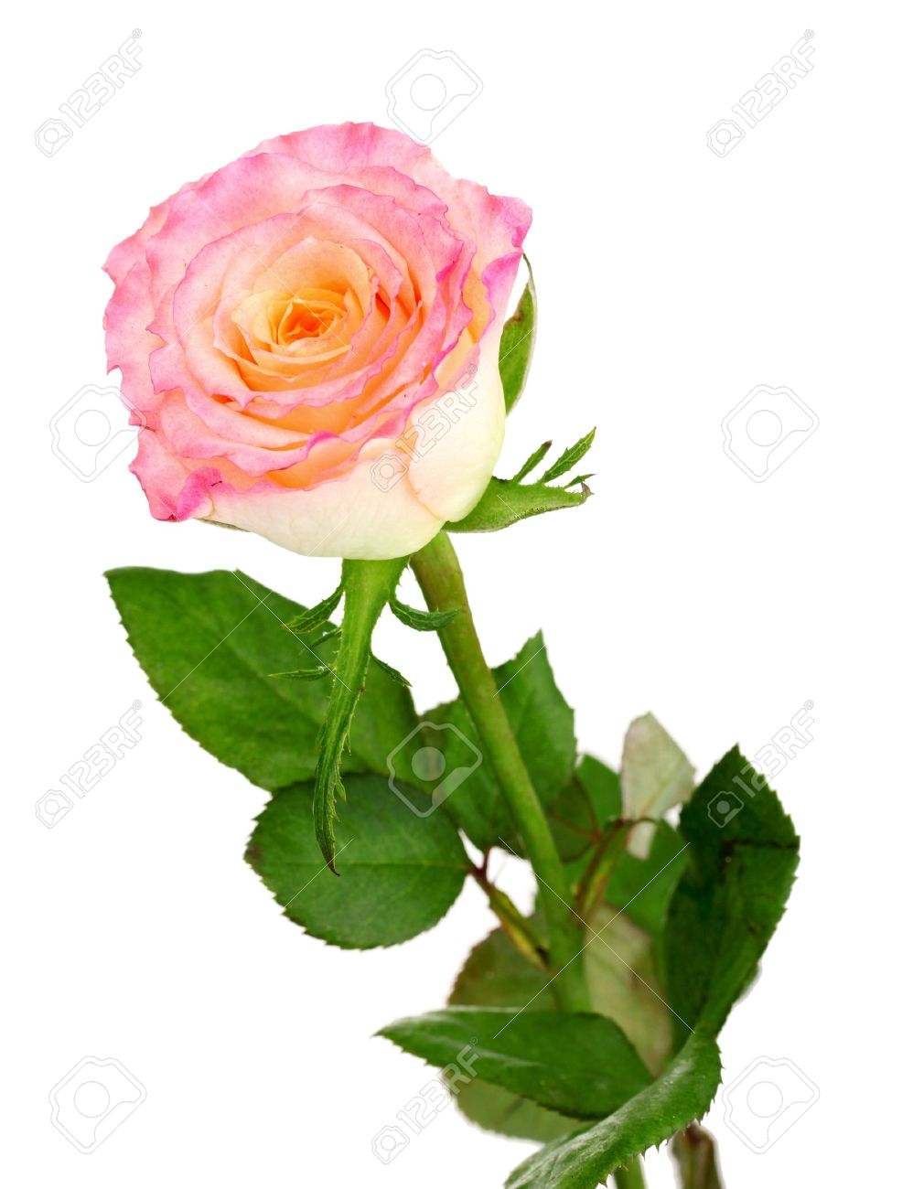 Beautiful pink rose isolated on white Stock Photo - 10752485