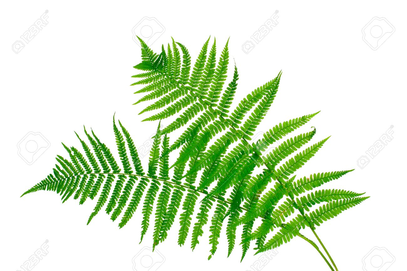 Two green leaves of fern isolated on white Stock Photo - 10817575