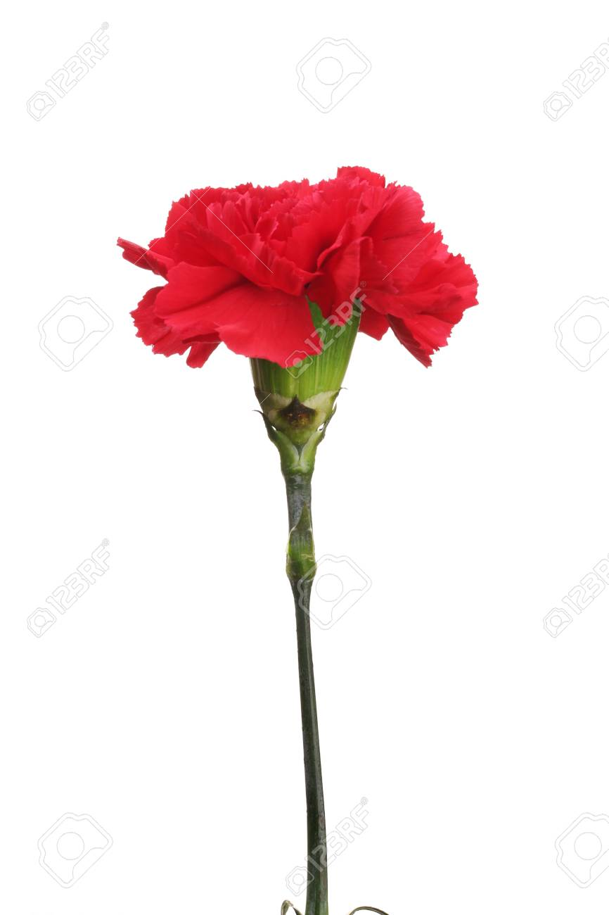 Red carnation isolated on white Stock Photo - 11724761