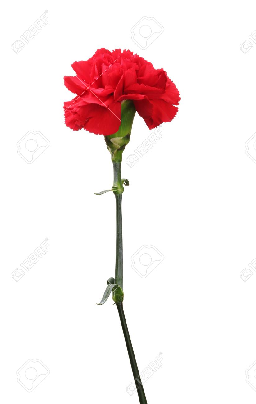 Red carnation isolated on white Stock Photo - 11912123