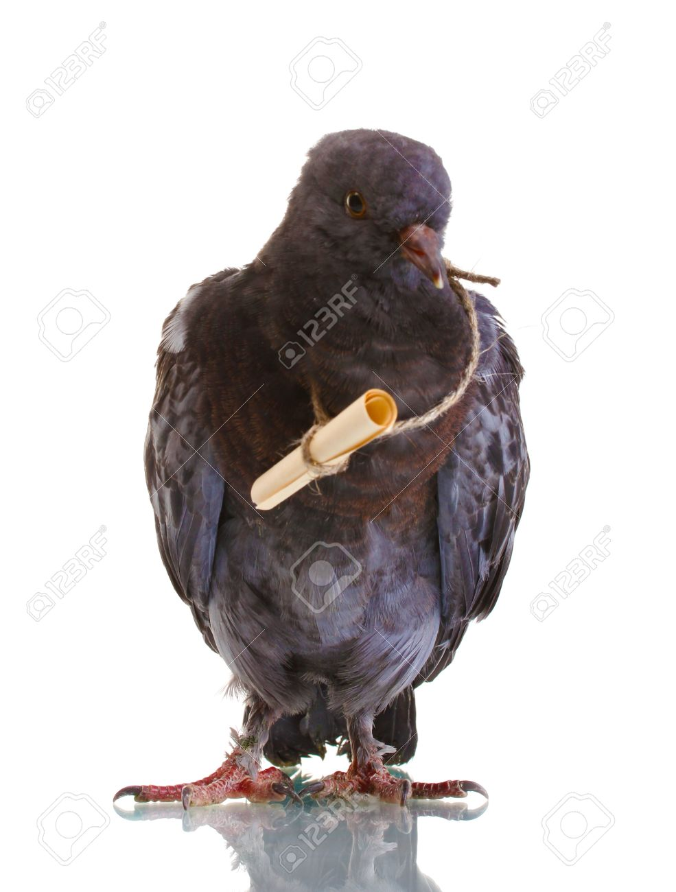 Messenger Pigeon Stock Photos, Royalty-Free Images & Vectors ...