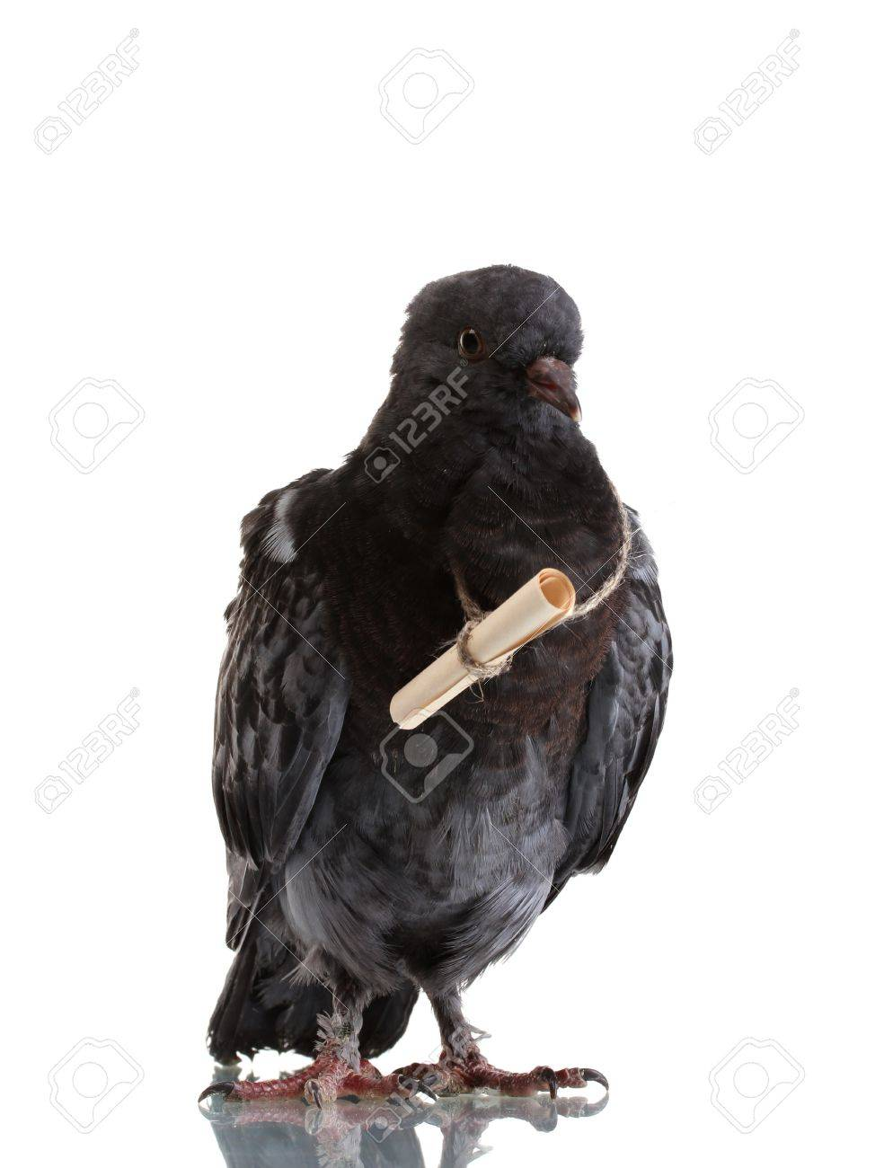 1000  images about Carrier Pigeons on Pinterest