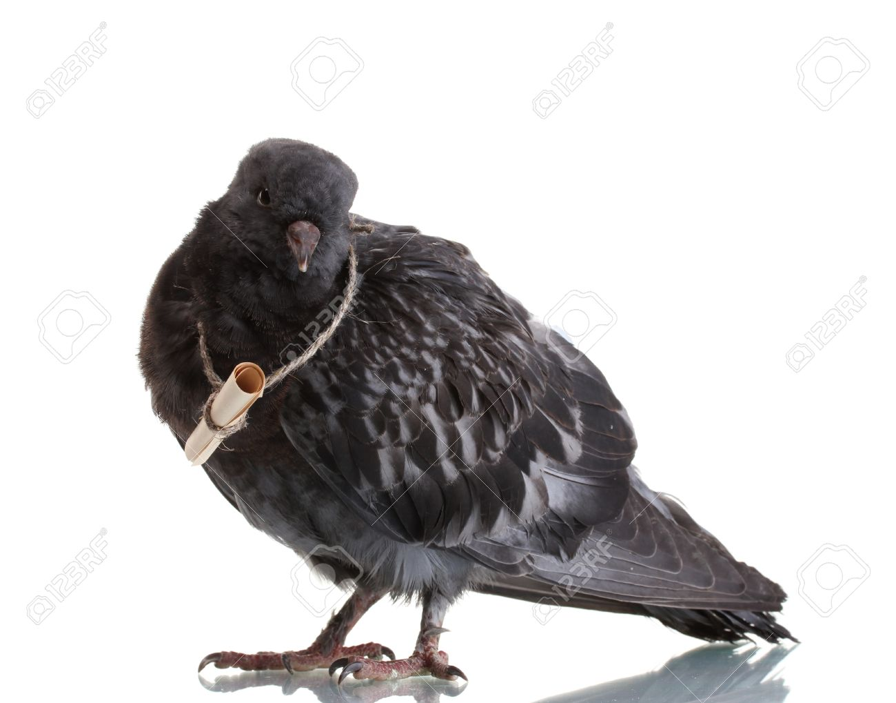 One Grey Messengerpigeon Isolated On White Stock Photo 98300915 ...