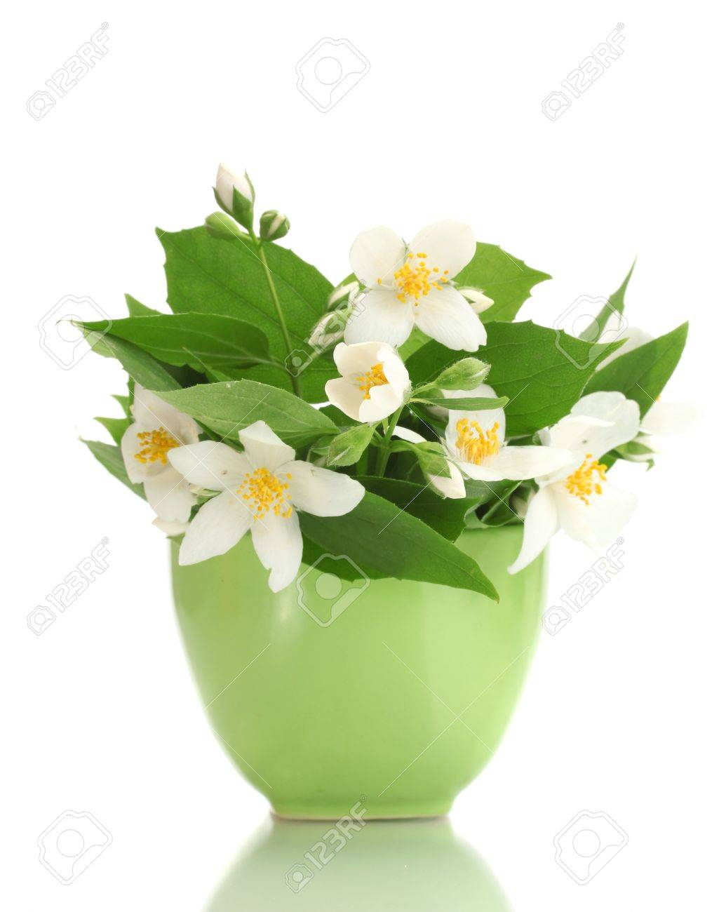 Beautiful jasmine flowers in green vase isolated on white stock beautiful jasmine flowers in green vase isolated on white stock photo 13818260 mightylinksfo
