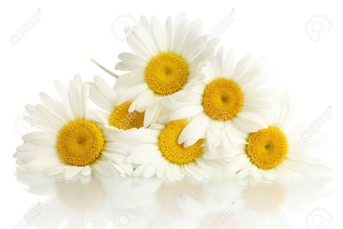 beautiful daisies flowers isolated on white stock photo picture
