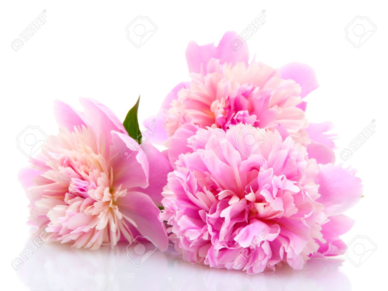 pink peonies flowers isolated on white stock photo, picture and