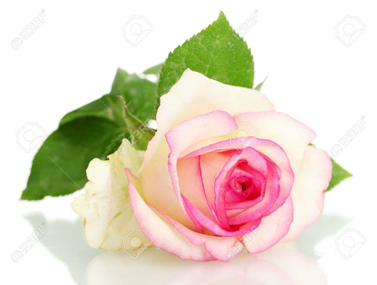 beautifu pink rose, isolated on white Stock Photo - 15047839