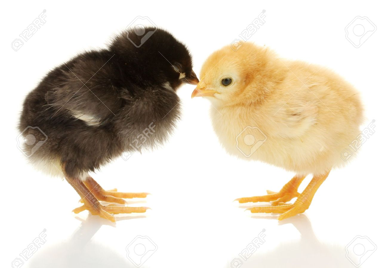 black and yellow little chickens isolated on the white Stock Photo - 15528959