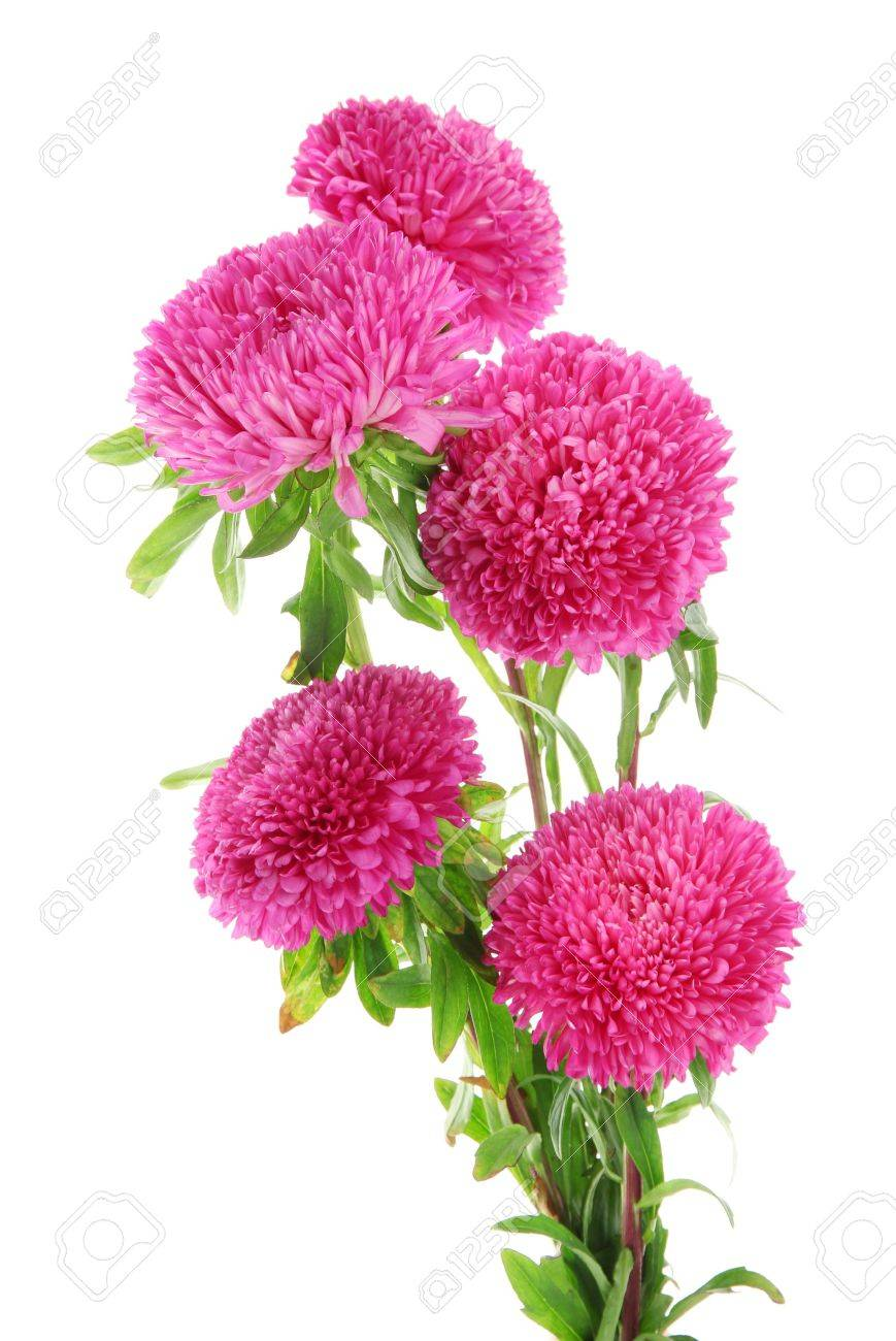 pink aster flowers, isolated on white stock photo, picture and, Beautiful flower