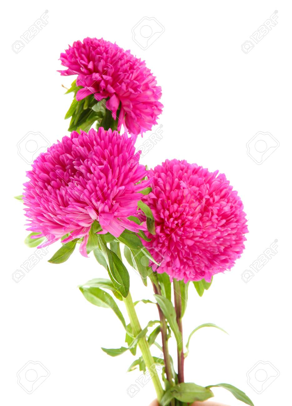 Pink Aster Flowers Isolated On White Stock Photo Picture And