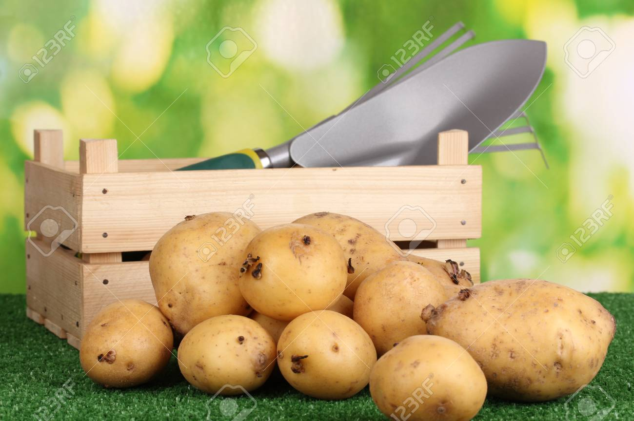 Ripe potatoes on grass on natural background Stock Photo - 16105963