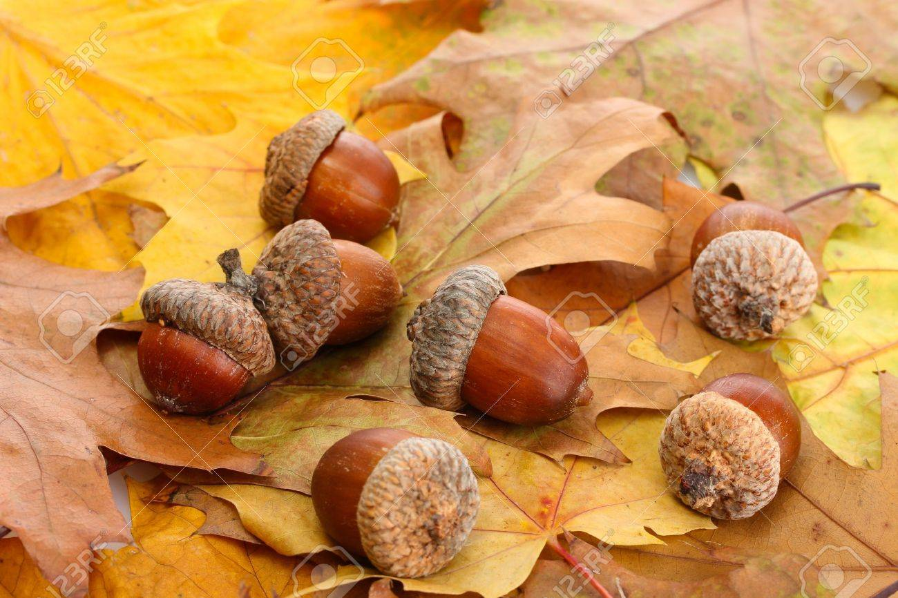 brown acorns on autumn leaves, close up Stock Photo - 16106489