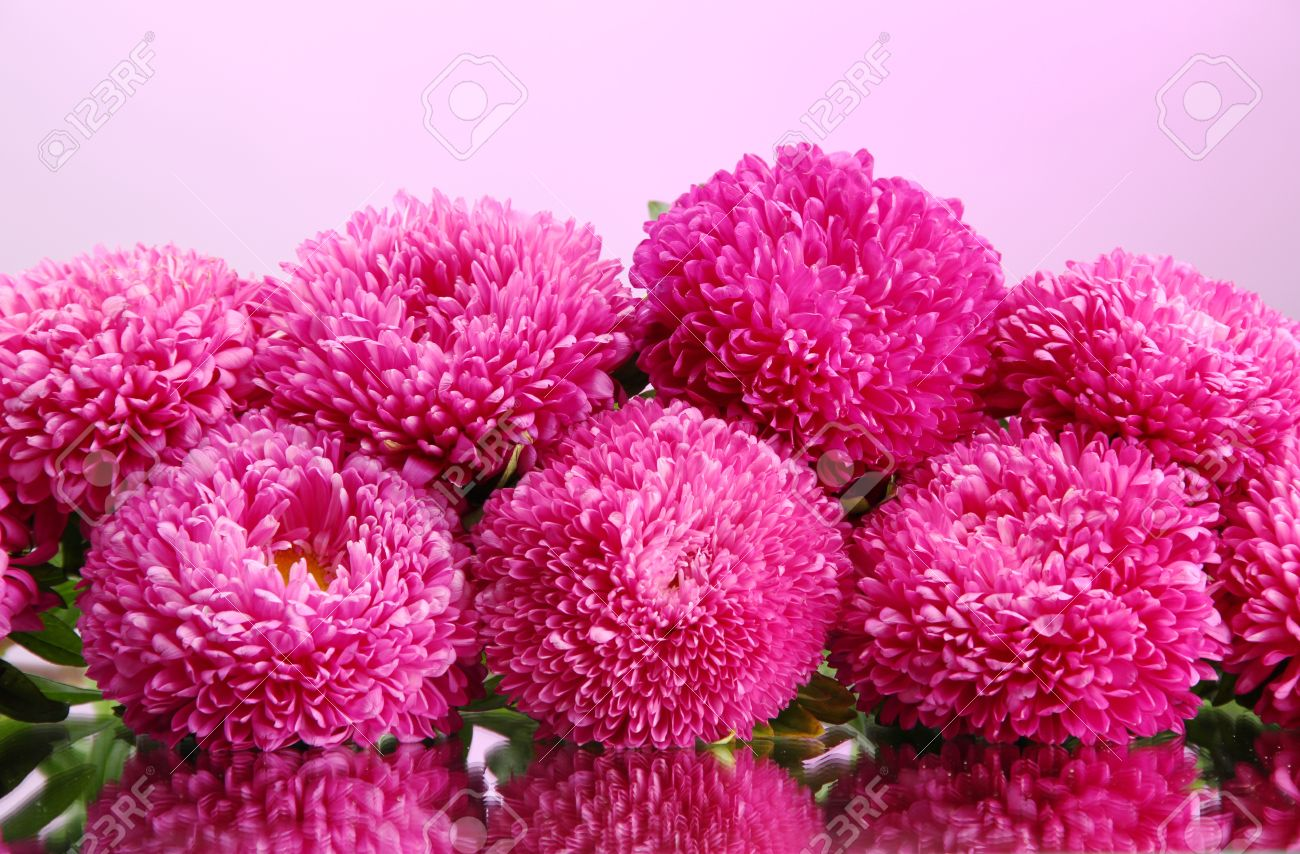 beautiful aster flowers, on pink background stock photo, picture, Beautiful flower