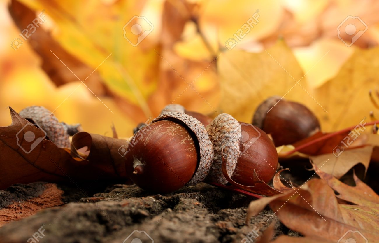 brown acorns on autumn leaves, close up Stock Photo - 16413083