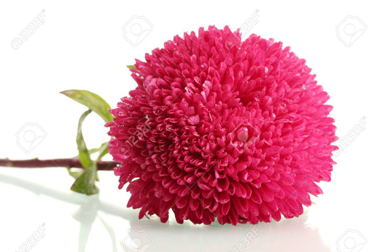 pink aster flower, isolated on white stock photo, picture and, Beautiful flower