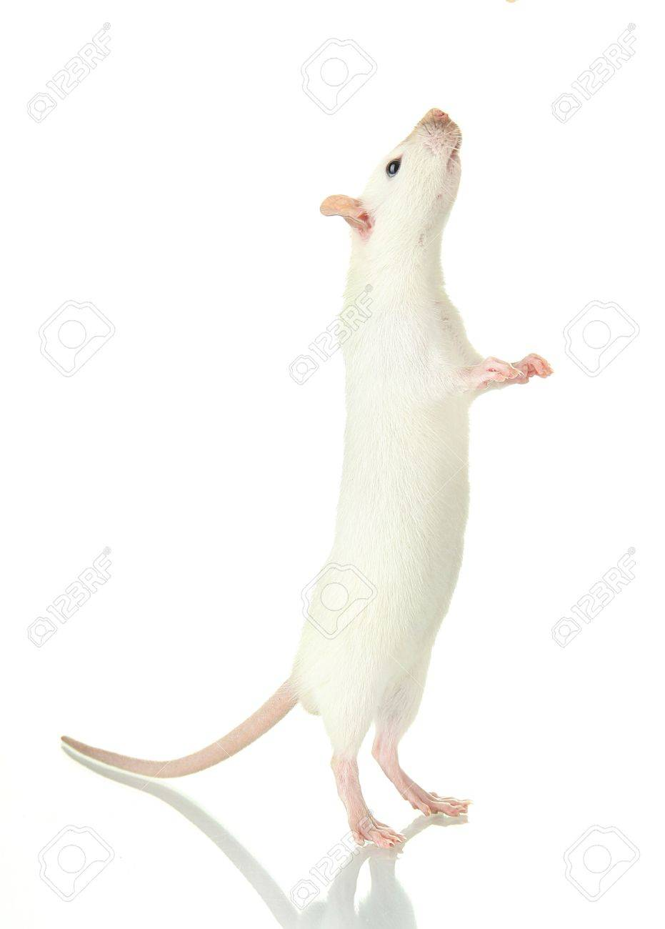 funny little rat, isolated on white Stock Photo - 17183507
