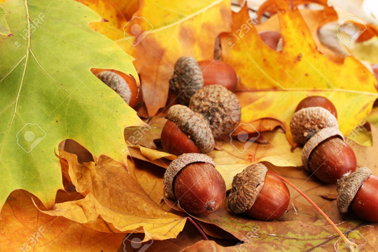 brown acorns on autumn leaves, close up Stock Photo - 17548488