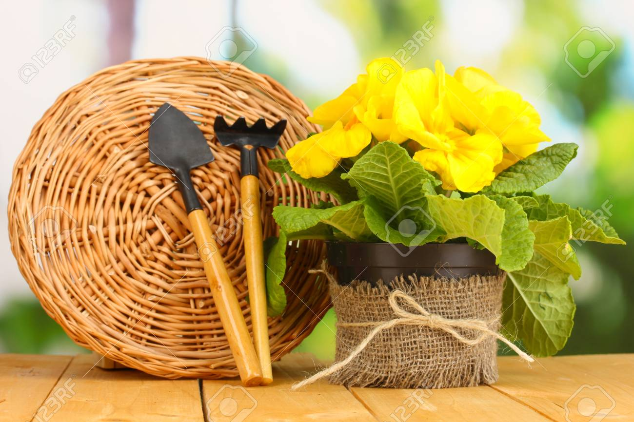 Beautiful yellow primula in flowerpot on wooden table on green background Stock Photo - 18187303