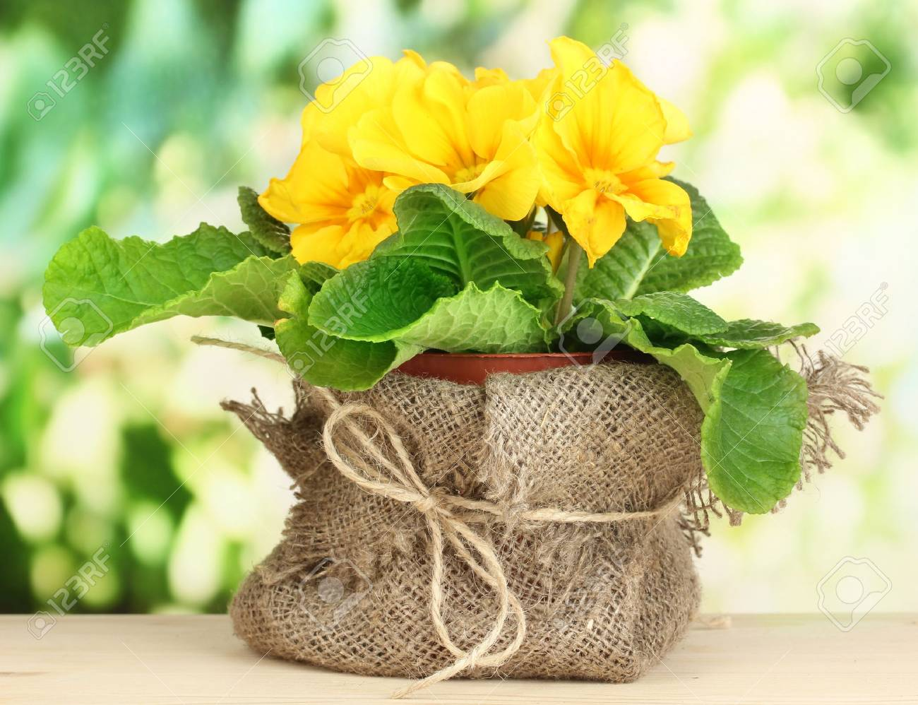 Beautiful yellow primula in flowerpot on wooden table on green background Stock Photo - 20602442