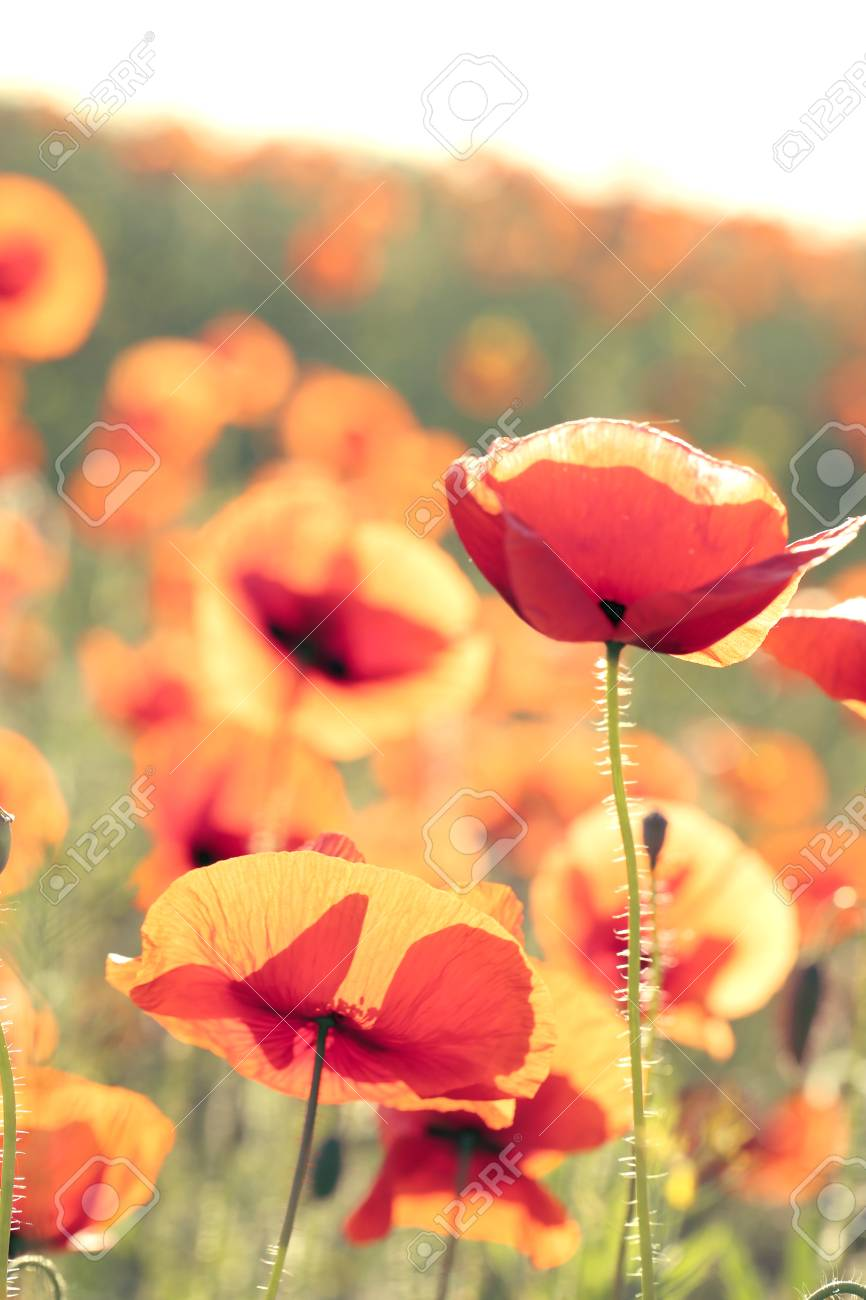 Meadow With Beautiful Bright Red Poppy Flowers In Spring Stock Photo