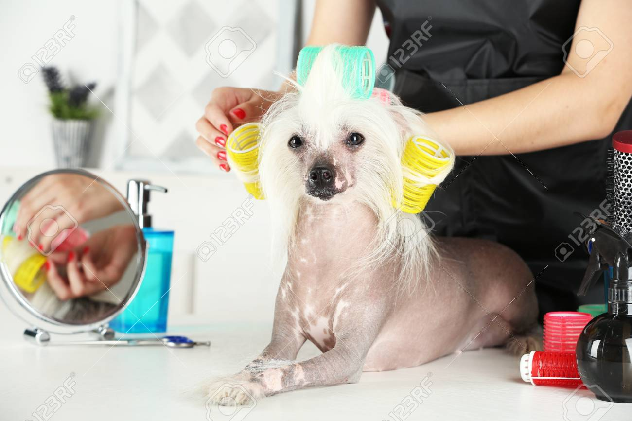 Portrait Of Chinese Crested Dog At Barbershop Stock Photo Picture