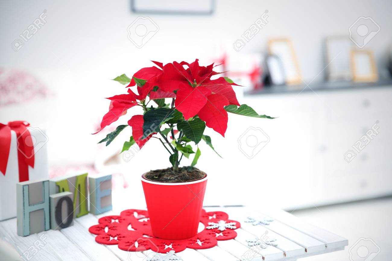 Christmas Flower Decorations.Christmas Flower Poinsettia And Decorations On Table With Christmas