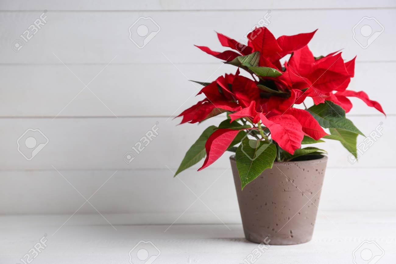 Christmas flower poinsettia on white table - 115684395