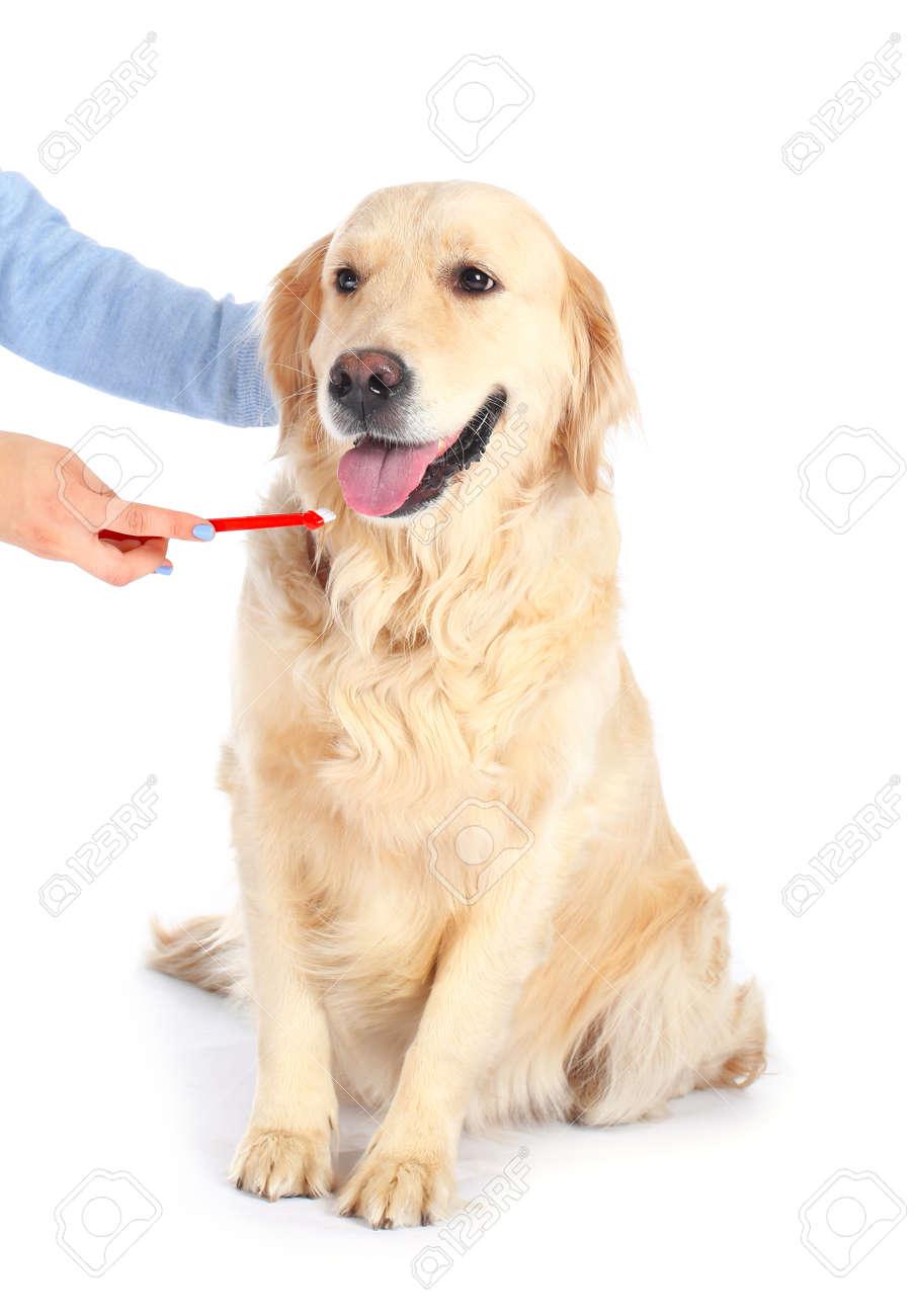 Owner brushing teeth of cute dog on white background - 172116027