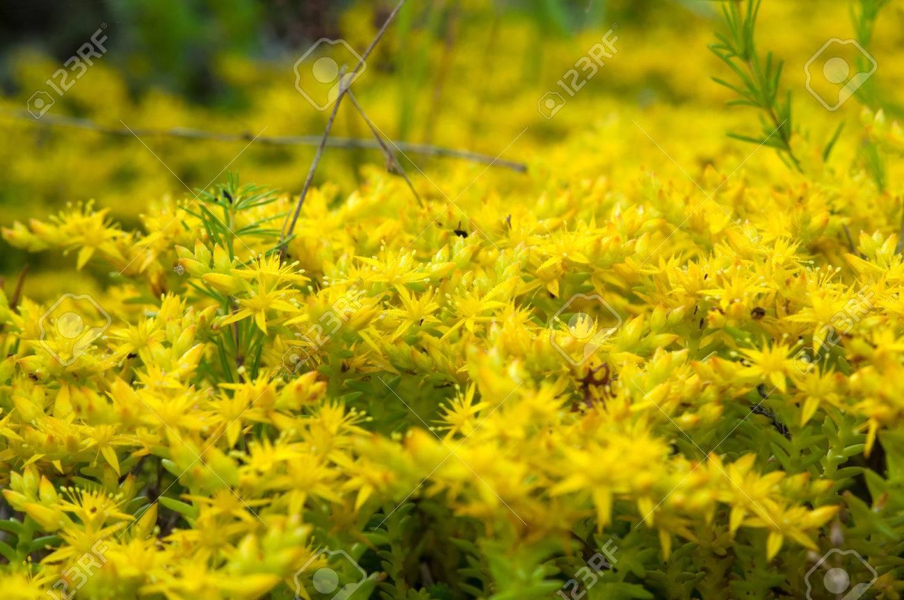 Yellow flowering moss sedum sexangulare plants mats ornamental stock photo yellow flowering moss sedum sexangulare plants mats ornamental flowering moss ground cover plants mightylinksfo