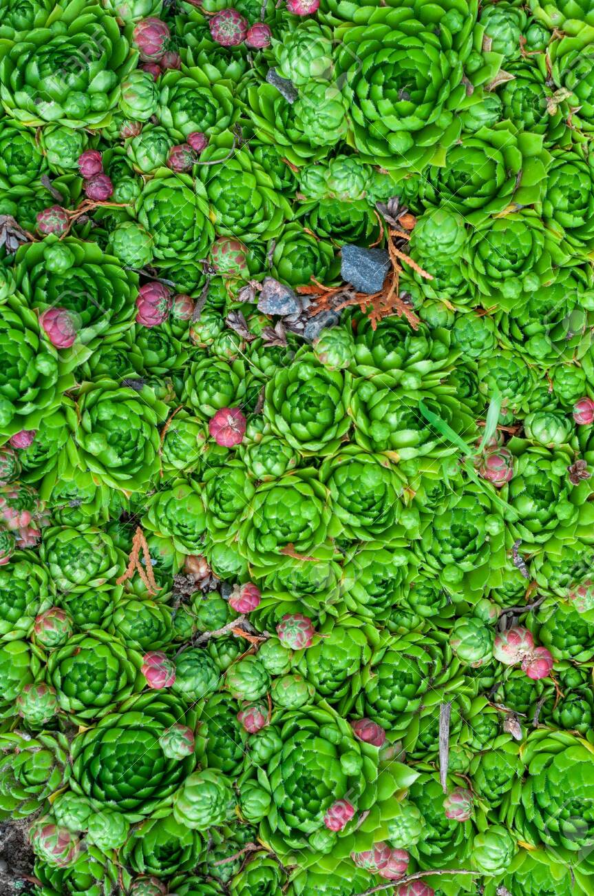 Background Of Young Green And Small Purple Succulent Plants Stock Photo Picture And Royalty Free Image Image 132562690