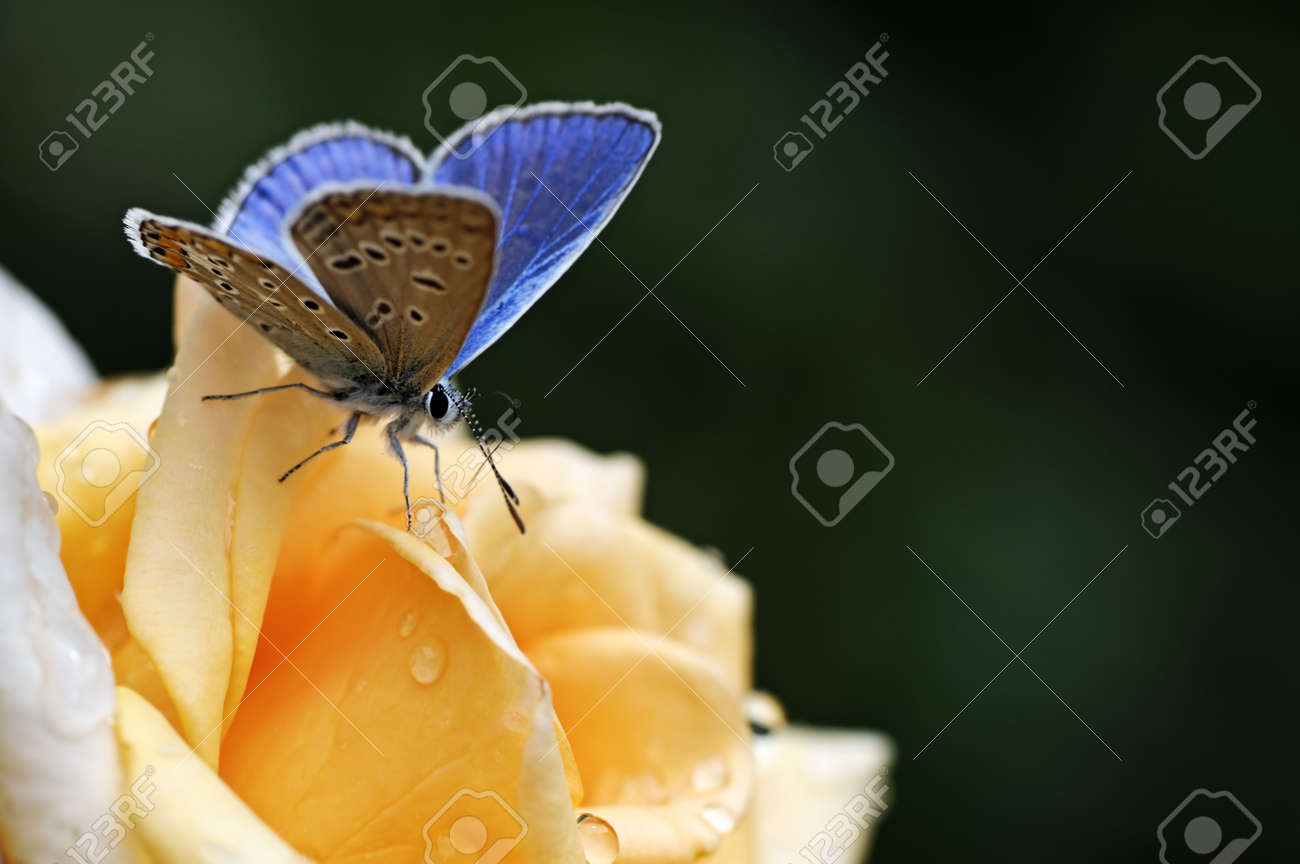 blue butterfly on yellow flower Stock Photo - 7544189