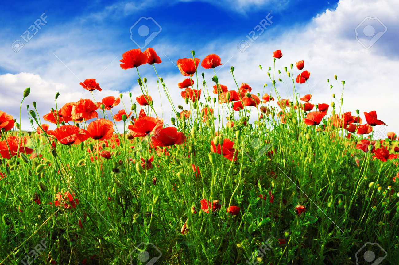 Poppy flower field at night royalty free stock photography image - Purple Fields Poppies On Green Field