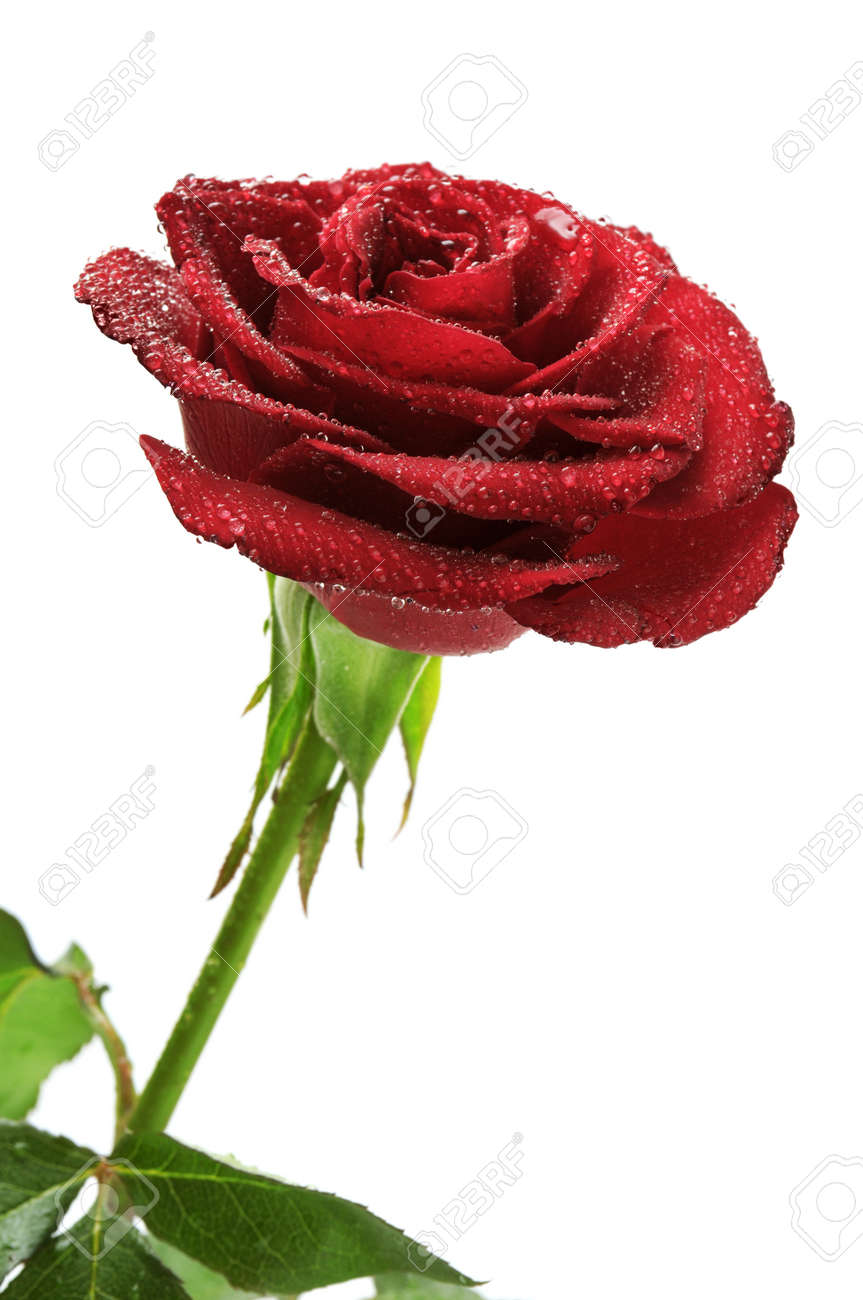 Red rose with rain drops isolated on white background. Stock Photo - 10684659