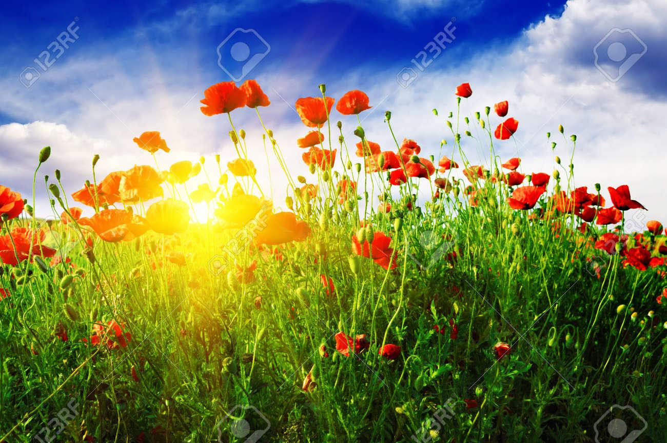 poppies field in rays sun - 11979763