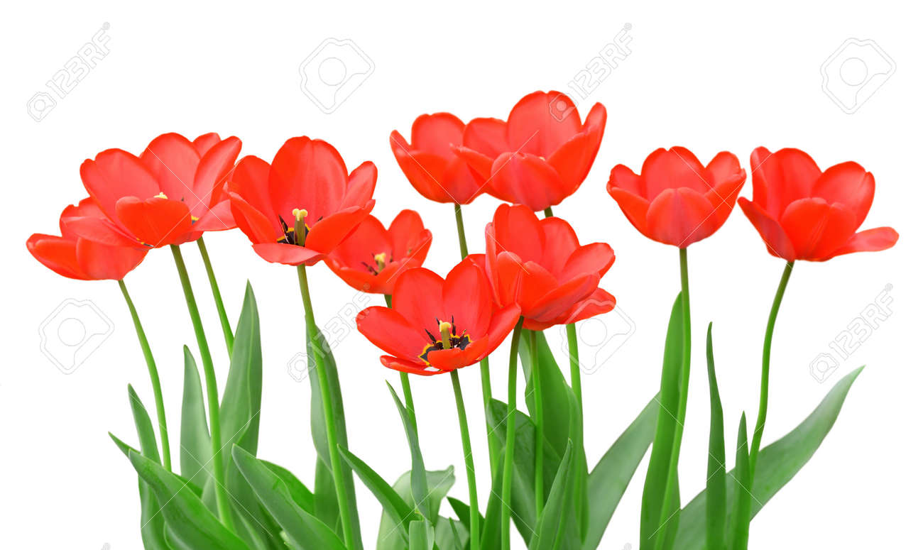 Tulips isolated on a white background Stock Photo - 13522923