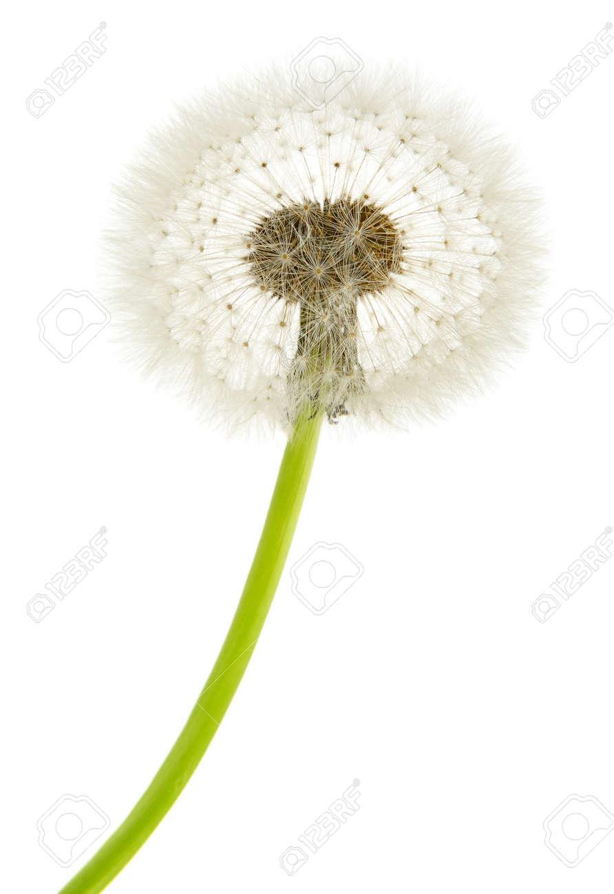 dandelion macro isolated on white background - 16028364