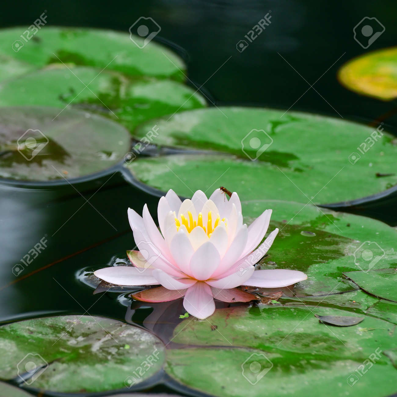 Water lily in lake - 17595322