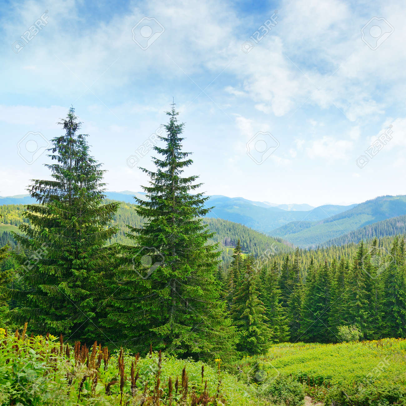 Beautiful pine trees on background high mountains. - 33533302