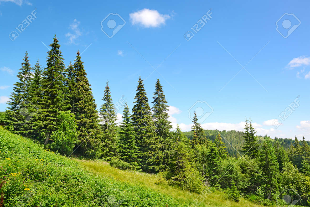 Beautiful pine trees in mountains. - 33981050