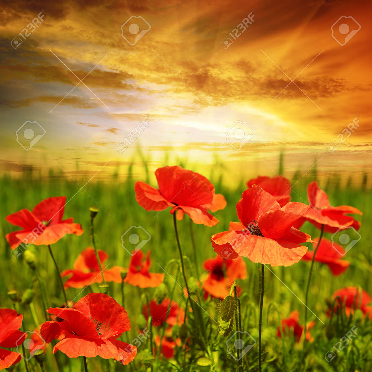 poppies field in rays sun - 34429746