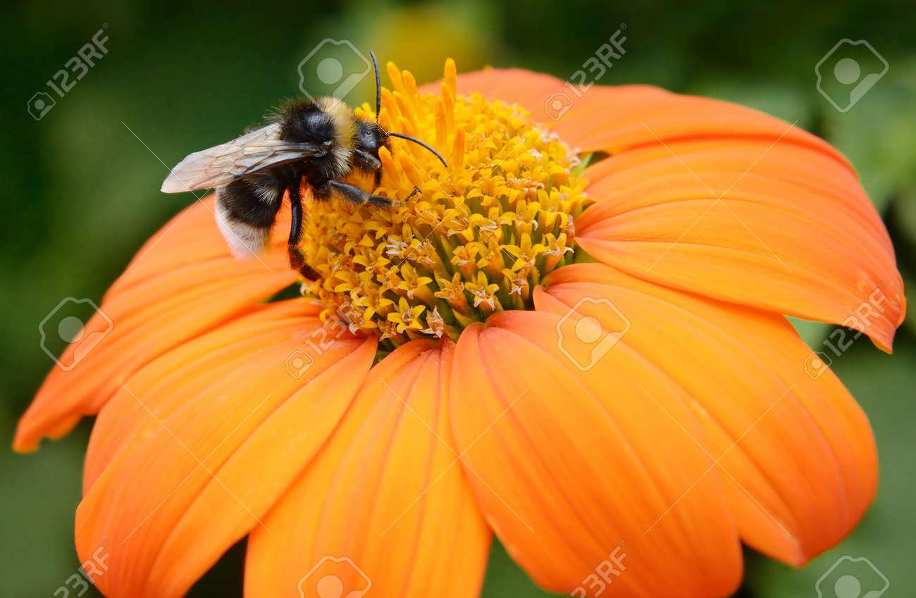 Big bumble bee on flower - 45051716