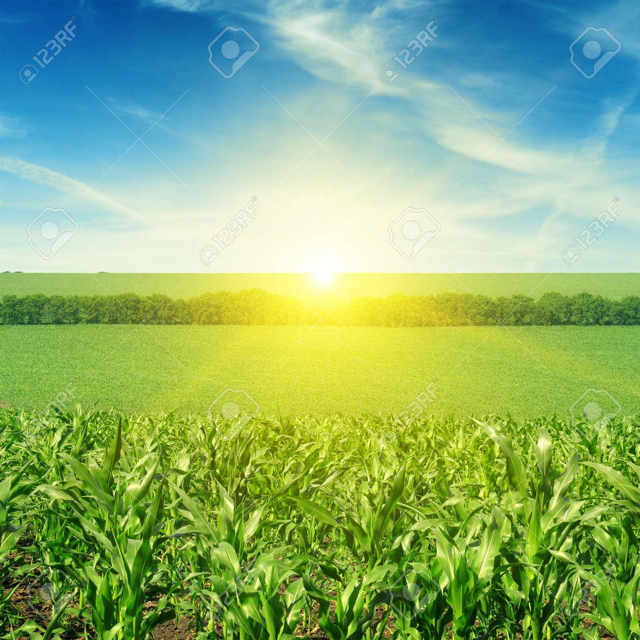 Beautiful sunset on corn field - 51241543