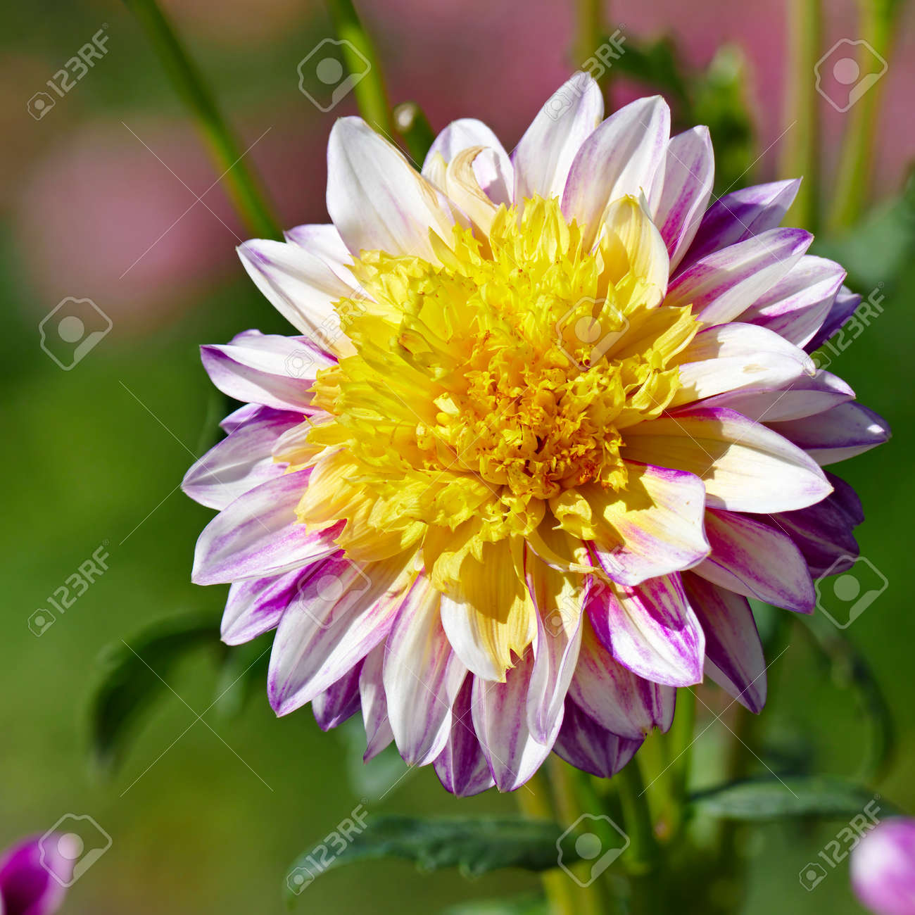 Two colored dahlia flower on a background of a flowerbed stock stock photo two colored dahlia flower on a background of a flowerbed izmirmasajfo