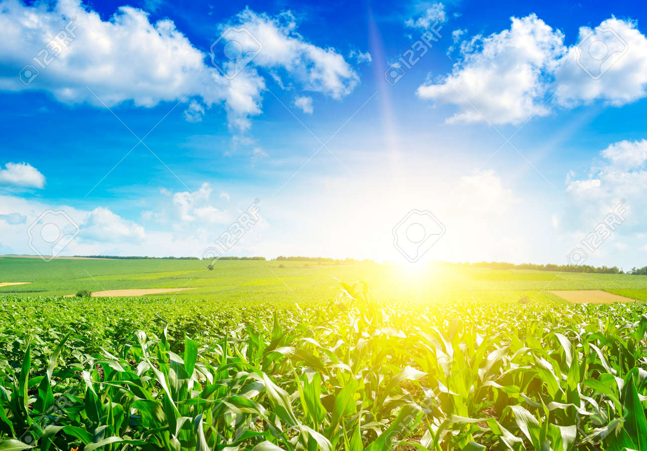 Sunrise over summer corn field. - 121168266