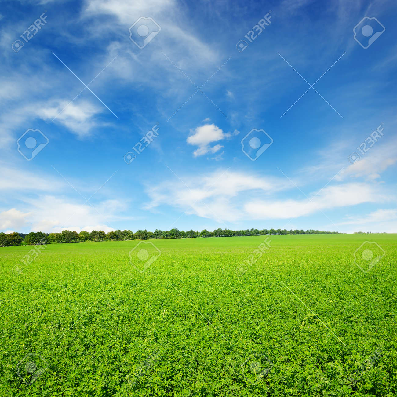 Fresh spring clover field and blue sky - 130393968