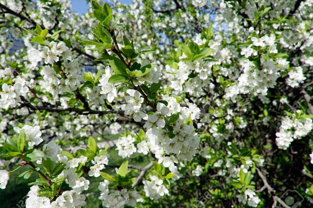Fleur De Cerisier Blanc Fond De Nature Florale Saisonni Re Banque D