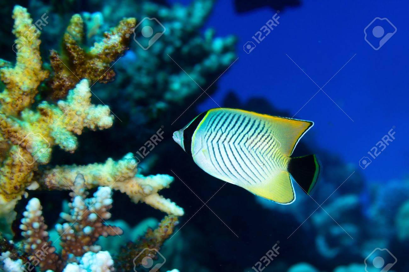 Chevron butterflyfish (Chaetodon trifascialis) in the Red Sea, Egypt. Stock Photo - 19385610
