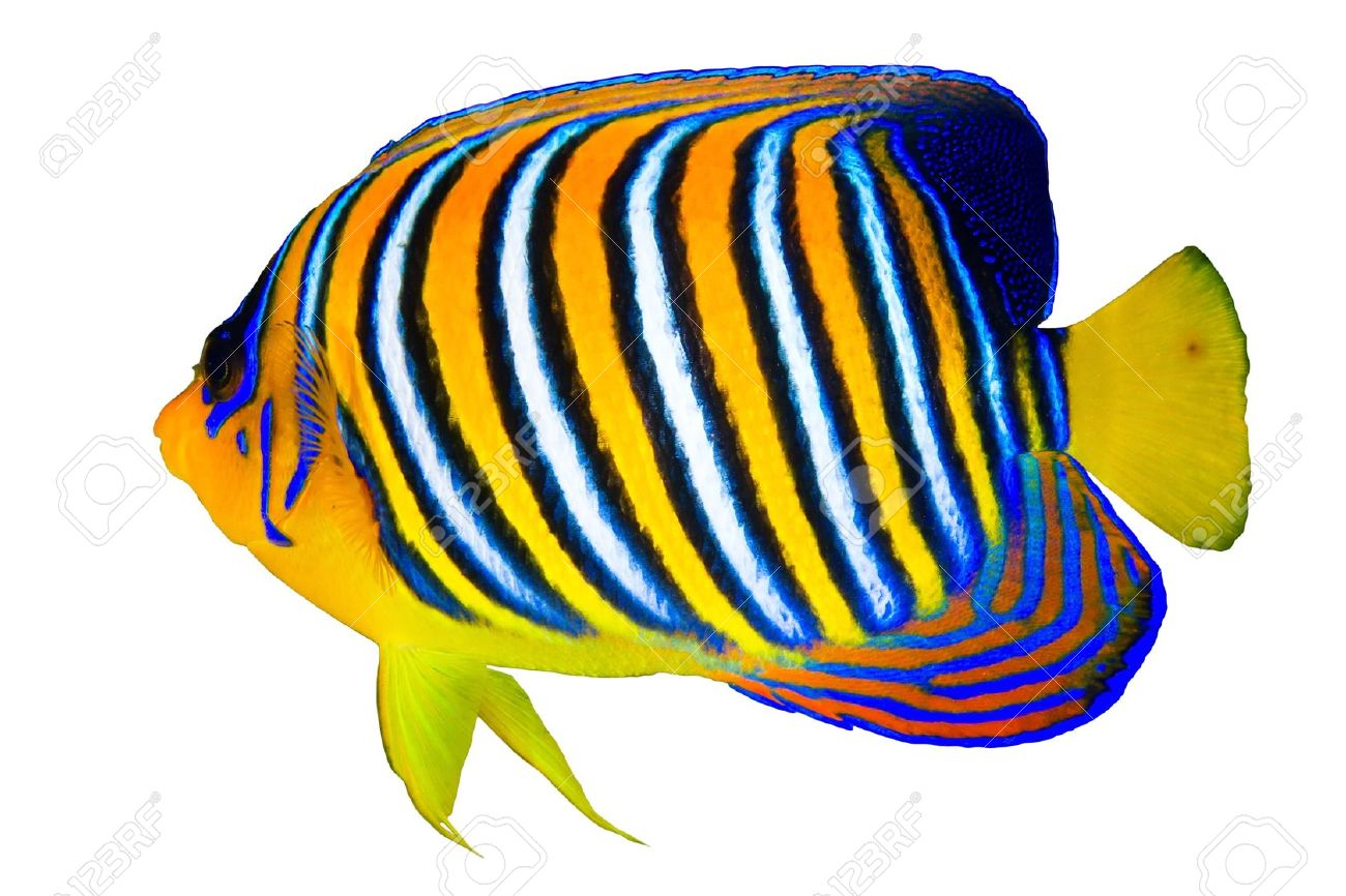 tropical fish stock photos royalty free tropical fish images and