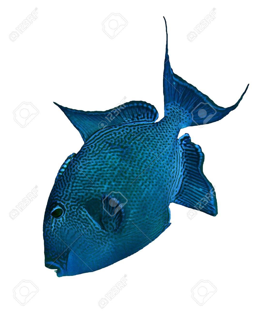 Blue triggerfish  Pseudobalistes fuscus  isolated on white background Stock Photo - 20276512
